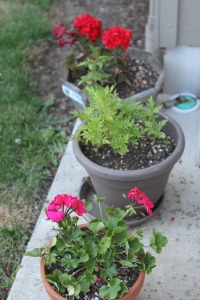 Colorful flowers are a must on my patio!  Geraniums and Marigolds!